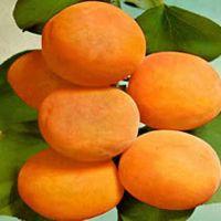 Orange Plant