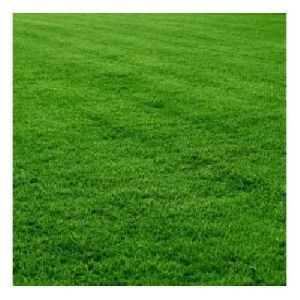 Green Mexican Grass