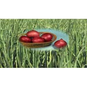 Arka Kalyan Onion Seeds