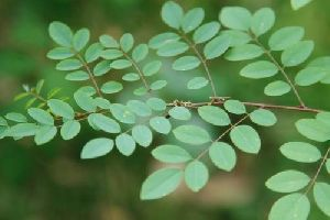 Indigo Leaves - Manufacturers, Suppliers & Exporters in India