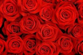Natural Red Rose