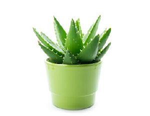 Aloe Vera Baby Plant