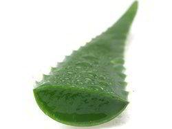 Organic Aloe Vera Leaves
