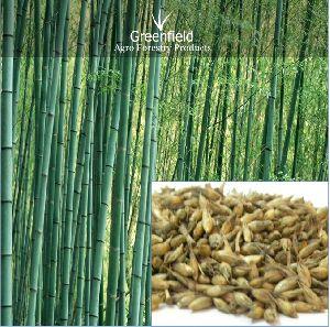Deshi Bamboo Seeds