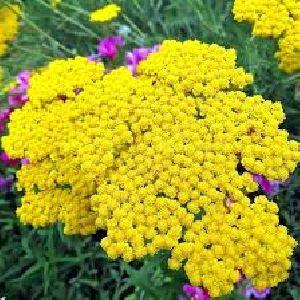 Fresh Yarrow Flower