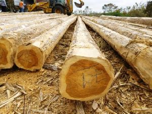 Eucalyptus Poles / Logs /SAWN WOOD / TIMBER