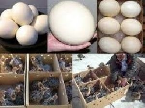 Healthy Ostrich Chicks & Eggs, Parrot Eggs, Chicken Eggs,Fertilized / Hatching Ostrich Egg