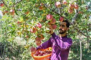delicious kashmiri apple