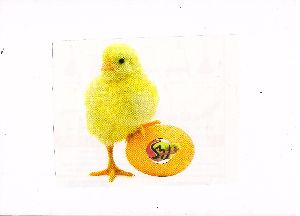 Poultry Chick