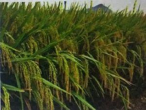 Un 102 F1 Paddy Seeds
