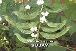 Dolichos Beans