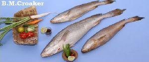 Fresh B.m Croaker Fish