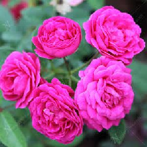 Button Rose Flowers