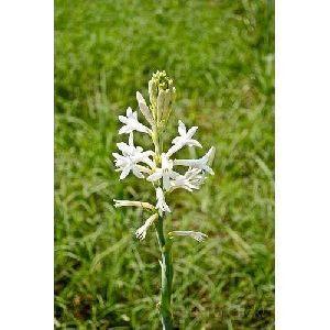 Sampangi Flowers