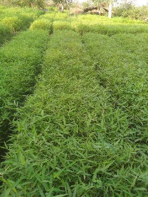 Bamboo Plants
