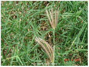 Dichanthium Annulatum Grass