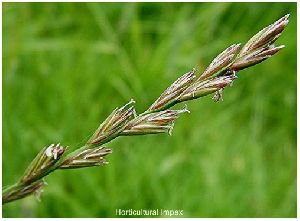 Lolium Perenne Grass Seed