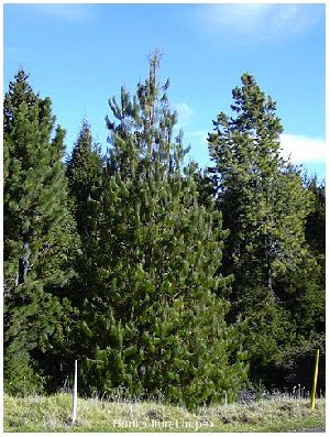 Pinus Patula