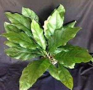 Foliage Anthurium Plant
