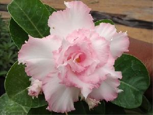 Adenium Pink And White Double