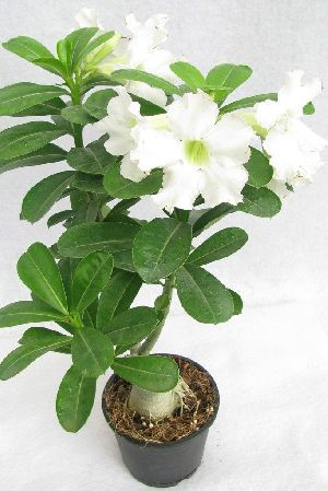 Adenium Plant at Best Price from Adenium Plant Suppliers