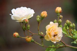 Budding Rose Plants
