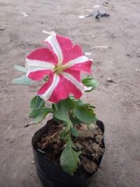 Kitoniya Winter Flowers Plant