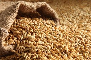 Barley Seeds For Animal Feed