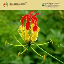 Gloriosa Superba Flowering Plant