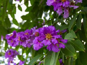 Banaba Leaves