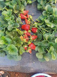 Strawberry Mother Plant Frigo Plant
