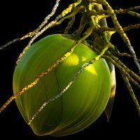 Tender Green Coconut