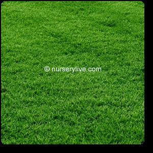 Korean Grass Lawn