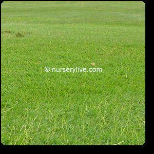 Turf Lawn Grass