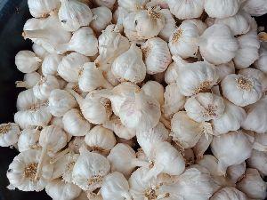 Garlic best