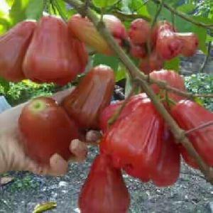 Seedless Jamun