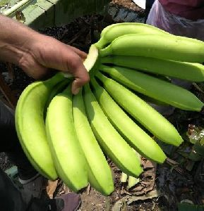 Green Cavendish Banana G9
