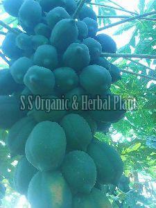 Fresh Papaya Plant