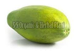 Herbal Papaya Plant