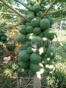 Natural Papaya Plant