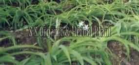 Natural Safed Musli Plant