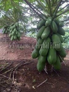 Red Lady Papaya Plant