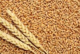 Fresh Wheat Seeds