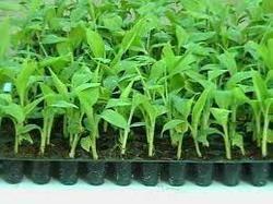 Banana Tissue Cultured Plants