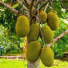 Kathal Plant