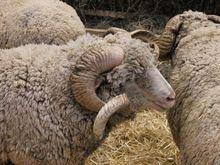 Sheep from Romania and Moldova