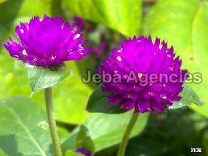 Fresh Vadamalli Flowers