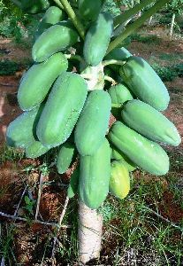 Papaya Contract Farming
