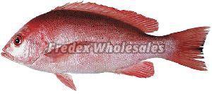 King Snapper Fish 02