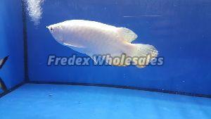 Platinum Crossback Arowana fish